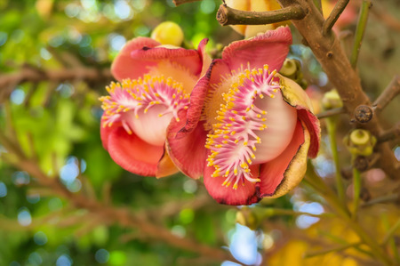 cannonball tree, is a deciduous tree in the family Lecythidaceae, which also contains the Brazil nut  Bertholletia excelsa   It is native to the rainforests of Central and South America It is cultivated in many other places