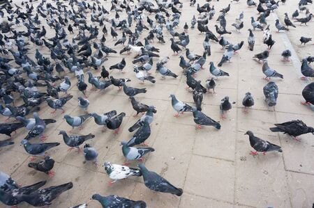 crowd tail: Gray pigeons on the stone city pavement