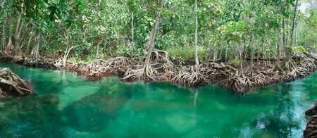 Mangrove tree, Tha Pom Khlong Song Nam, Krabi, Thailand Stock Photo