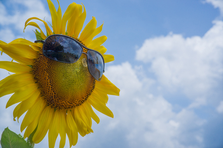 sunflower wear a sunglasses with sky background