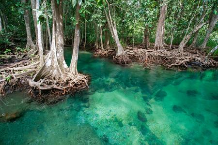 pom: Mangrove tree, Tha Pom Khlong Song Nam, Krabi, Thailand Stock Photo