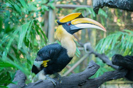strikingly: Great pied hornbill in rainforest Stock Photo