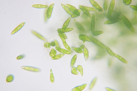 Euglena is a genus of single-celled flagellate Eukaryotes. Reklamní fotografie