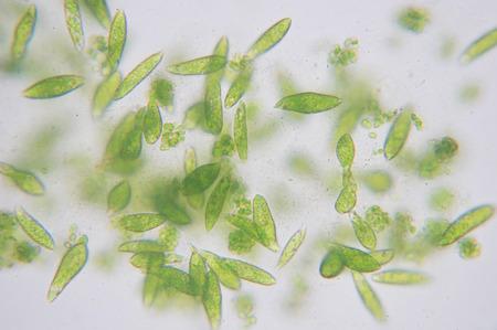 유글레나는 단세포 진핵 생물 편모의 속입니다. 스톡 콘텐츠