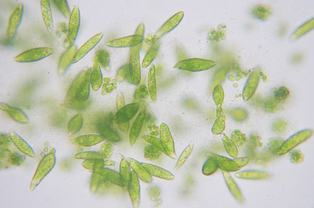 Euglena is a genus of single-celled flagellate Eukaryotes. Banco de Imagens - 66587328