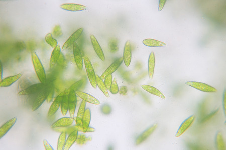 Euglena is a genus of single-celled flagellate Eukaryotes. Stock Photo