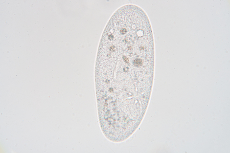 basins: Paramecium is a genus of unicellular ciliated protozoa, commonly studied as a representative of the ciliate group. Paramecia are widespread in freshwater, brackish, and marine environments and are often very abundant in stagnant basins and ponds.