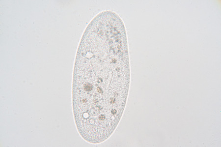 genus: Paramecium is a genus of unicellular ciliated protozoa, commonly studied as a representative of the ciliate group. Paramecia are widespread in freshwater, brackish, and marine environments and are often very abundant in stagnant basins and ponds.