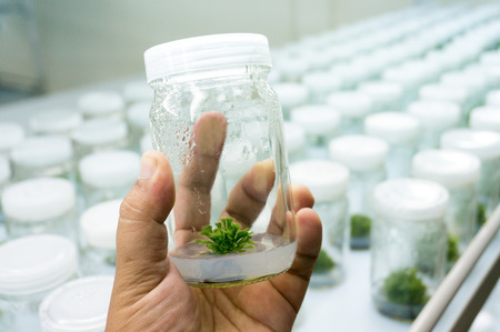 Experiment plant tissue culture in laboratory, Selective focus. Stockfoto