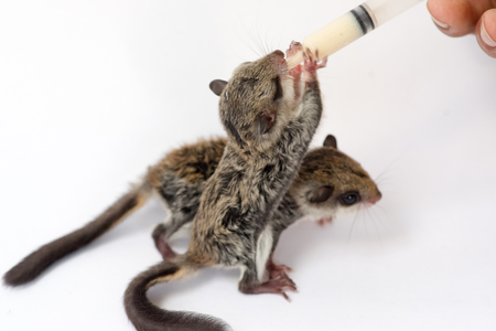Feeding baby flying Lemur  with milk replacer by syringe