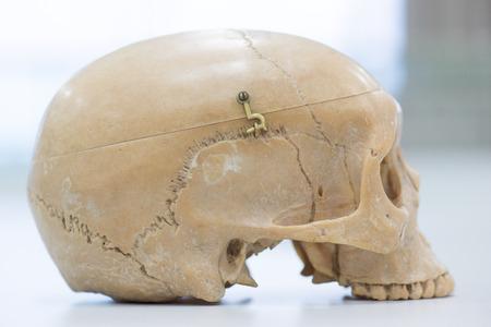 Human skull model for education