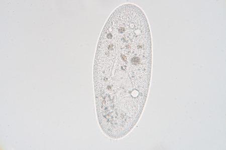 짚신은 일반적으로 섬모충 그룹의 대표 연구 단세포 섬모 원생 동물의 속입니다. Paramecia는 담수, 기수, 해양 환경에서 광범위하고 종종 정체 분지, 연
