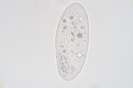 Paramecium is a genus of unicellular ciliated protozoa, commonly studied as a representative of the ciliate group. Paramecia are widespread in freshwater, brackish, and marine environments and are often very abundant in stagnant basins and ponds.