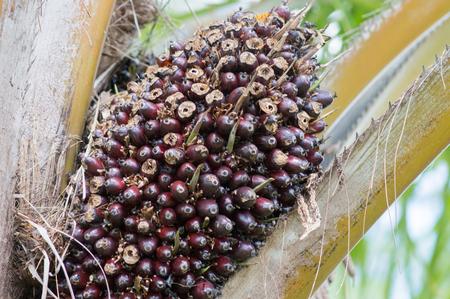 Palm oil fruit on tree. Stock Photo