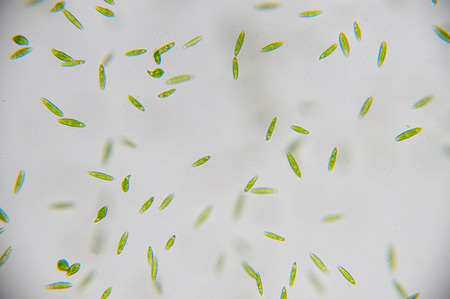 protozoa: Euglena is a genus of single-celled flagellate Eukaryotes. Stock Photo