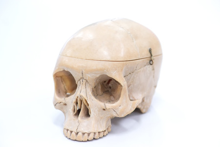 Human skull model for education on a white background.