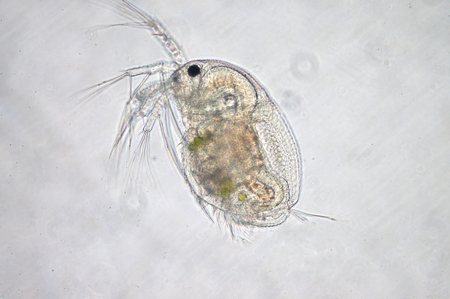 Water flea (Moina macrocopa) under microscope view