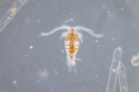 Copepod are a group of small crustaceans found in the sea and nearly every freshwater habitat.