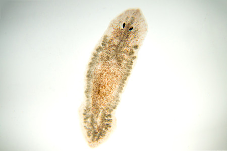 Planaria flatworm, under microscope view.(soft focus)