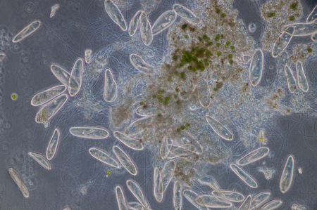 cilia: Paramecium is a genus of unicellular ciliated protozoa,  Paramecia are widespread in freshwater, brackish, and marine environments and are often very abundant in stagnant basins and ponds.