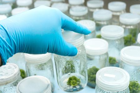 callus: Experiment plant tissue culture in laboratory, Selective focus. Stock Photo