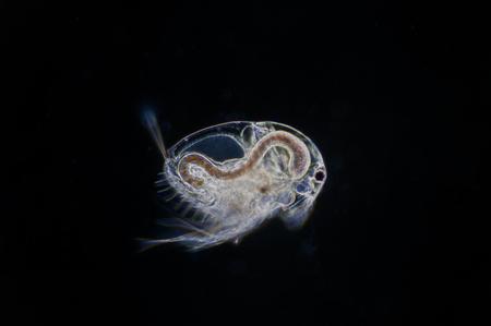 Water flea (Moina macrocopa) under microscope view