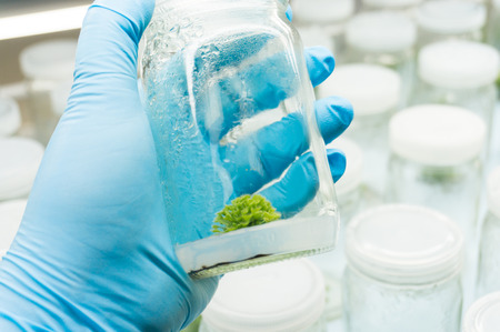 Experiment plant tissue culture in laboratory, Selective focus. Stock Photo