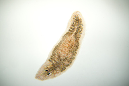 Planaria platworm, onder microscoop view. (Soft focus) Stockfoto - 72977342