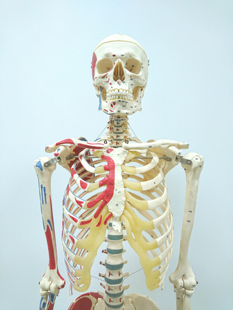 Human skeleton model for physiology in laboratory Stock Photo