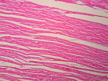 Histology of cardiac muscle under microscope view 스톡 콘텐츠