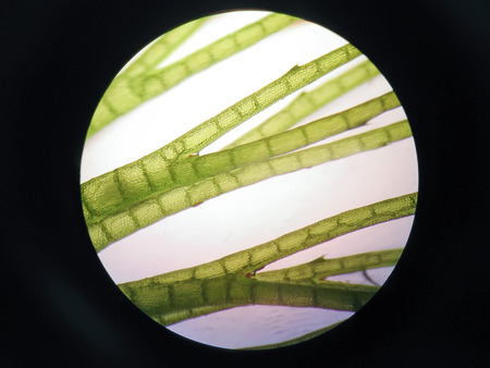 Aquatic plant cell under microscope view