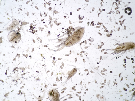 Freshwater aquatic zooplankton under microscope view