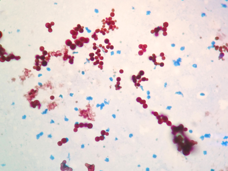 mycobacterium: Mycobacterium are to the bacteria that cause tuberculosis in fish or pet