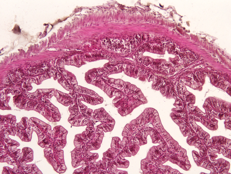 small intestinal villi: Intestine animal tissue under microscope view. histology of intestine. Stock Photo