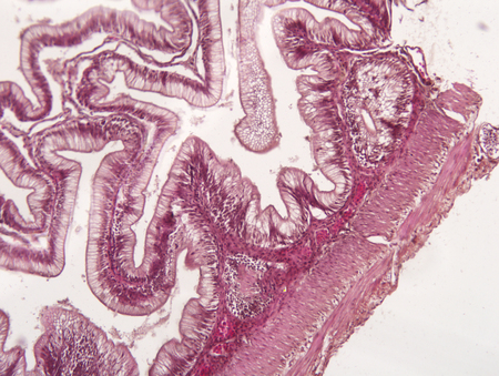 bowel wall: Intestine animal tissue under microscope view. histology of intestine. Stock Photo