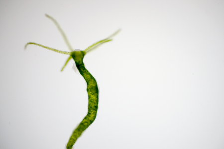 Hydra is a genus of small, fresh-water animals of the phylum Cnidaria and class Hydrozoa. Stockfoto