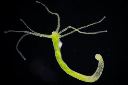 reproduction animal: Hydra is a genus of small, fresh-water animals of the phylum Cnidaria and class Hydrozoa. Stock Photo
