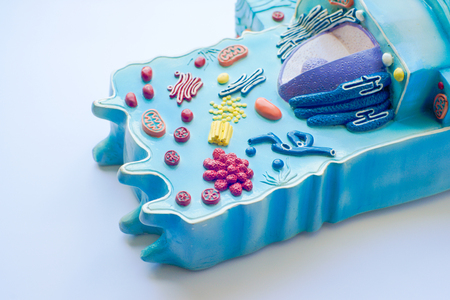biology instruction: Model of animal cell in laboratory Stock Photo