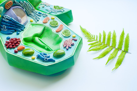 eukaryotic: Plant leaf and model of plant cell in laboratory Stock Photo