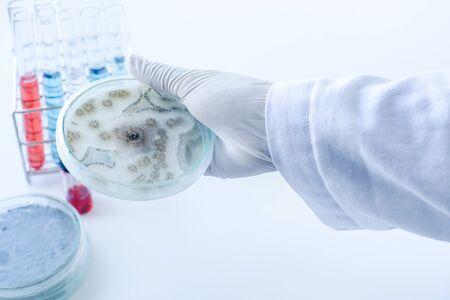 科学者は、培養培地プレート、微生物の菌 (Asperillus ニジェール) の植民地を表示します。