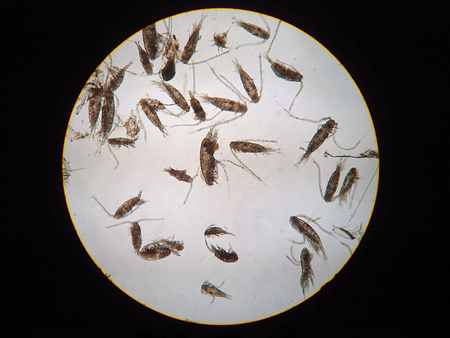 protozoan: Copepods are a group of small crustaceans found in the sea and nearly every freshwater habitat, are under microscope view.