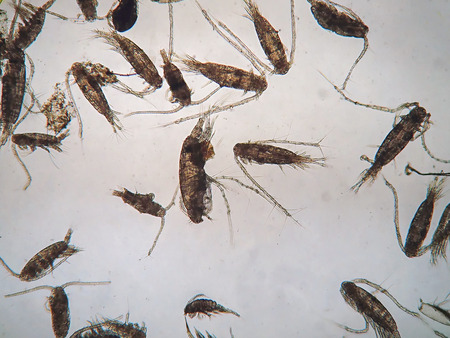 Copepods are a group of small crustaceans found in the sea and nearly every freshwater habitat, are under microscope view.