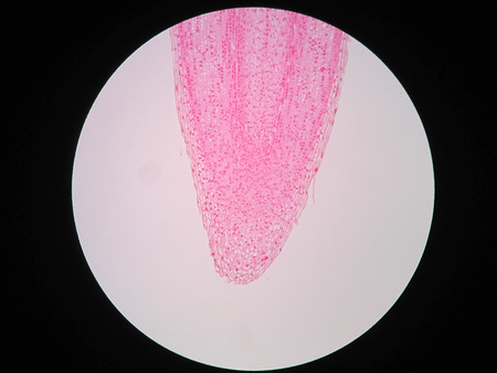 顕微鏡下での植物の根の断面を表示します。 写真素材