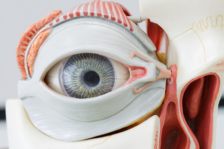 Human eye model for education
