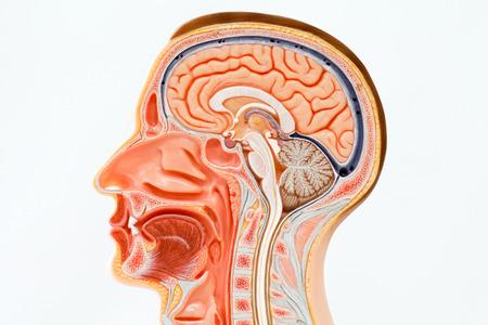 Model of human head