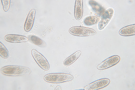 Tetrahymena is a genus of unicellular ciliated protozoan and Bacterium under the microscope