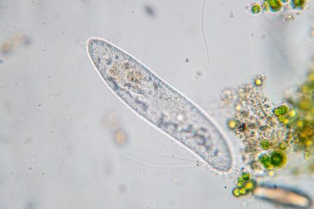Paramecium caudatum ist eine Gattung einzelliger bewimpter Protozoen und Bakterien unter dem Mikroskop Standard-Bild - 90535716