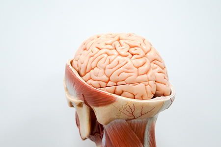 Human brain anatomy model for education