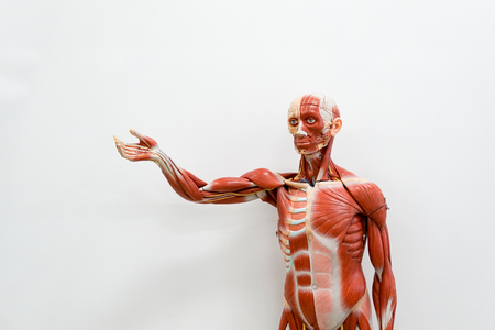 Human anatomy model for education Stock Photo