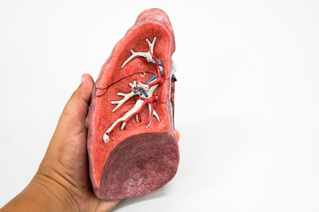 Human lung anatomy model for education Stock Photo